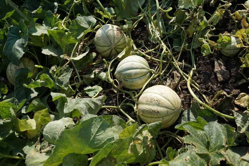 raised bed garden melons