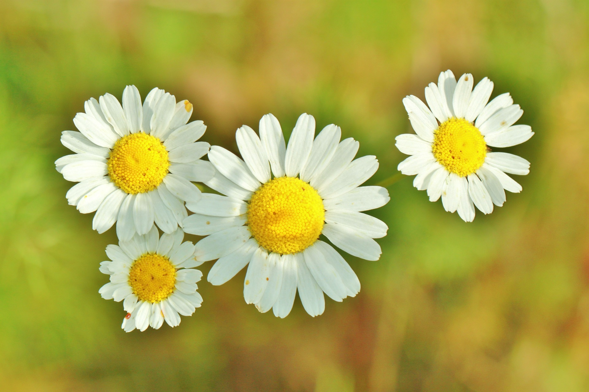 All You Need to Know About Growing an Enchanting Chamomile Plant
