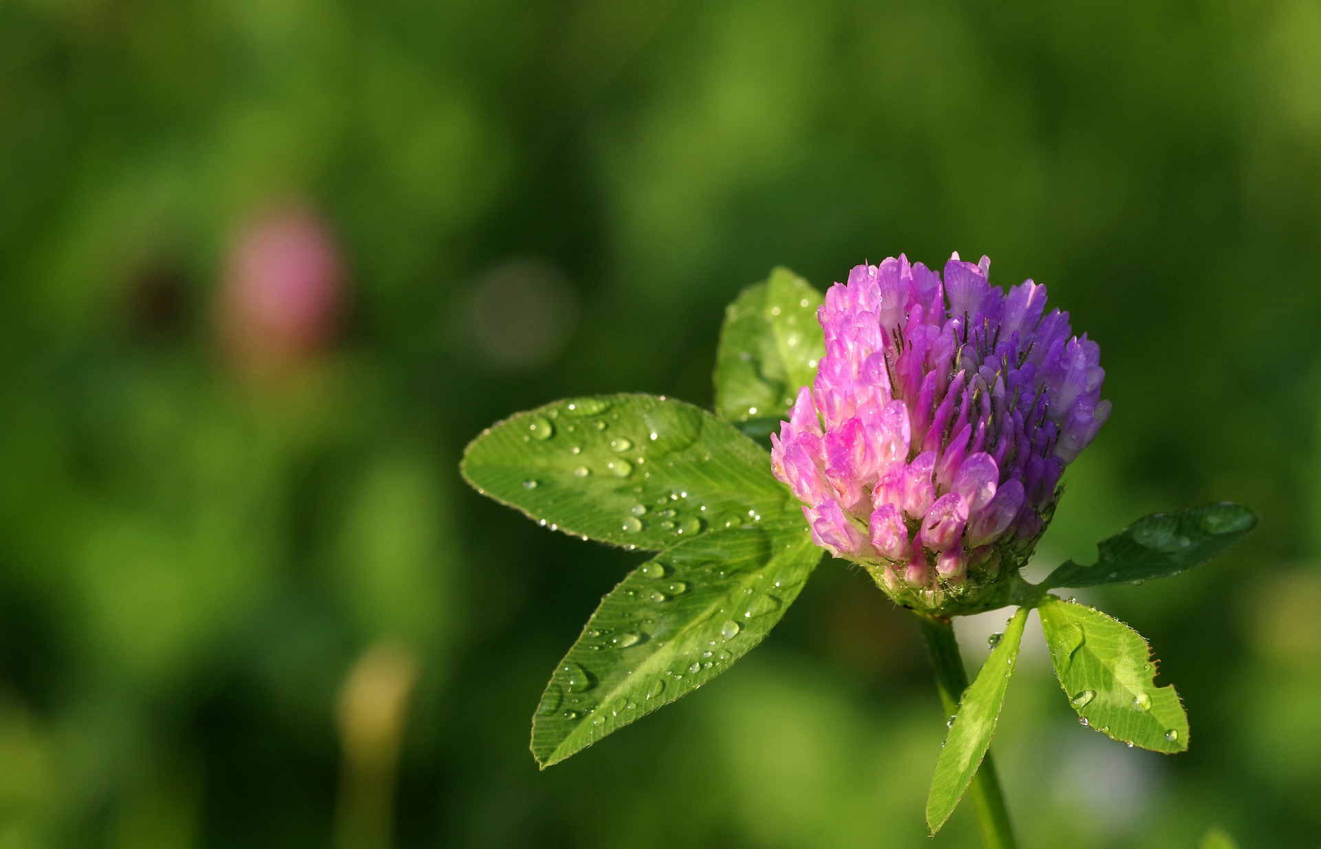 Red Clover Plant: One of the Most Beneficial Nitrogen Depositors Ever