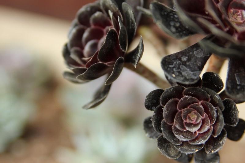 black rose succulent