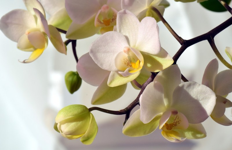types of orchid
