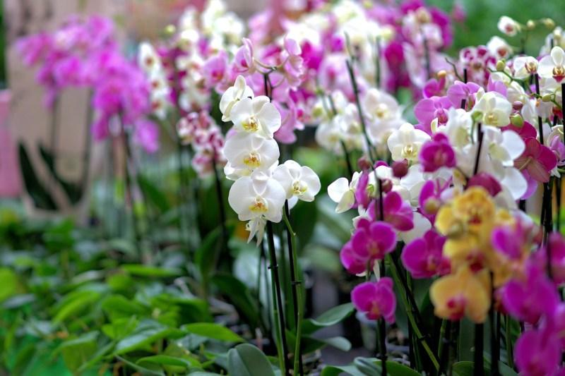 breeding orchids