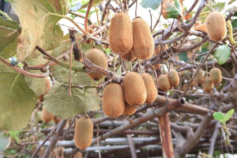 kiwi plant fruit
