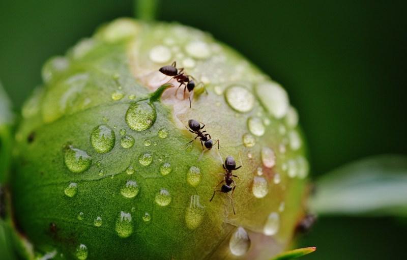 Ants on a peony