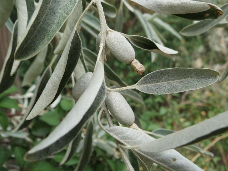 Full sun shrubs eleagnus