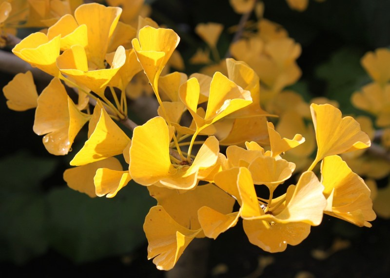 ginkgo tree facts