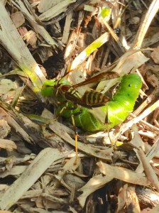 Paper wasp makes a meal of tomato hornworm