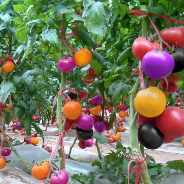 are rainbow tomatoes real or fake
