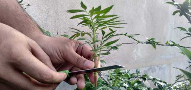 use sharp knife to cut marigold stem