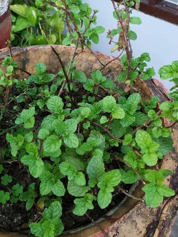 Grow mint in Garden