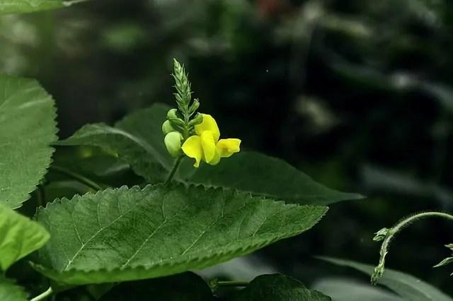 mung-bean-flower