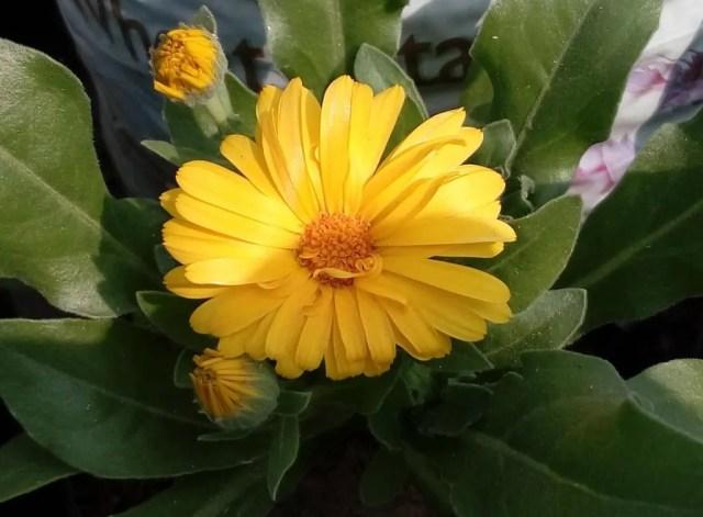 calendula-flower