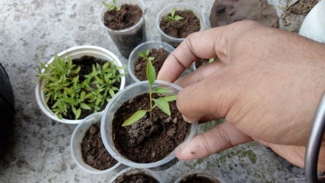 Transplanting chili seedlings