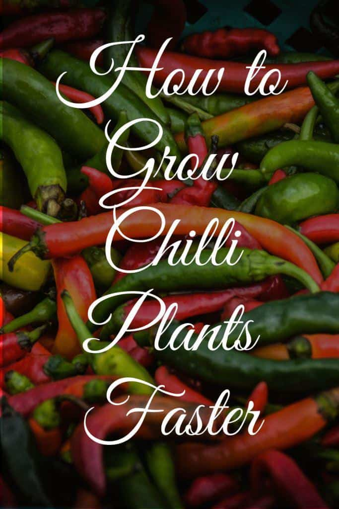 how to grow chili plants faster