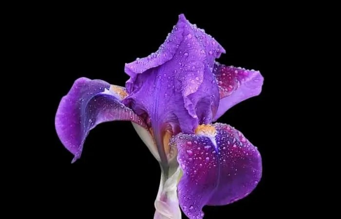 iris beautiful flower