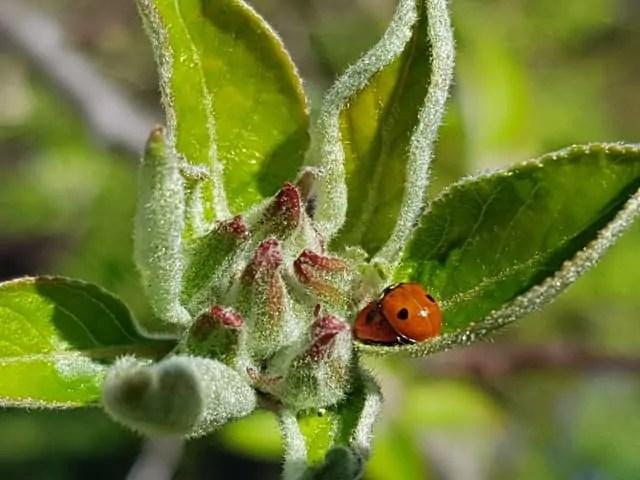 ladybug- beneficial garden animals