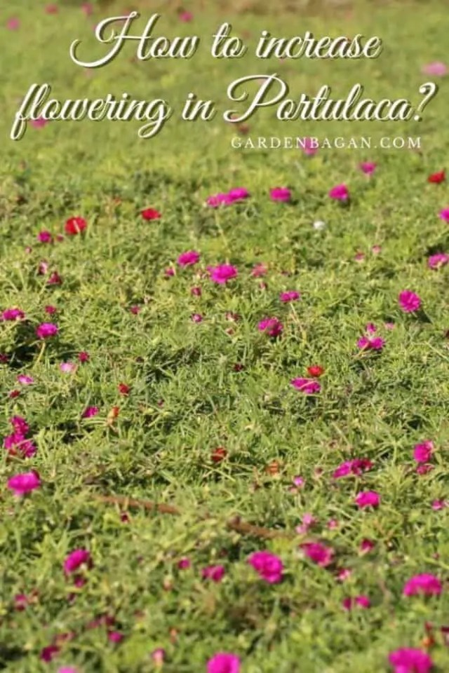 How to increase flowering in Portulaca