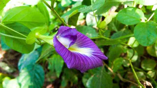 Purple-butterfly-pea-clitoria-ternatea