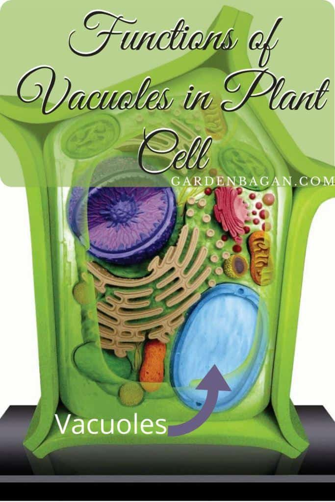 Functions of Vacuoles in Plant Cell