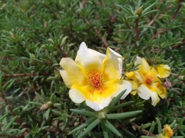 portulaca-cream-white