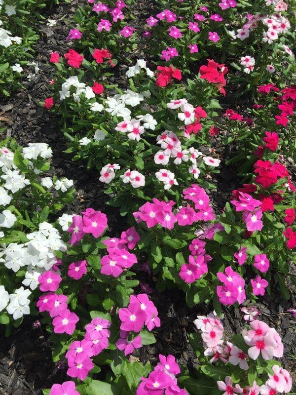 Grow-vinca-flowers-from-cuttings