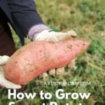 How to Grow Sweet Potato Vine Easily