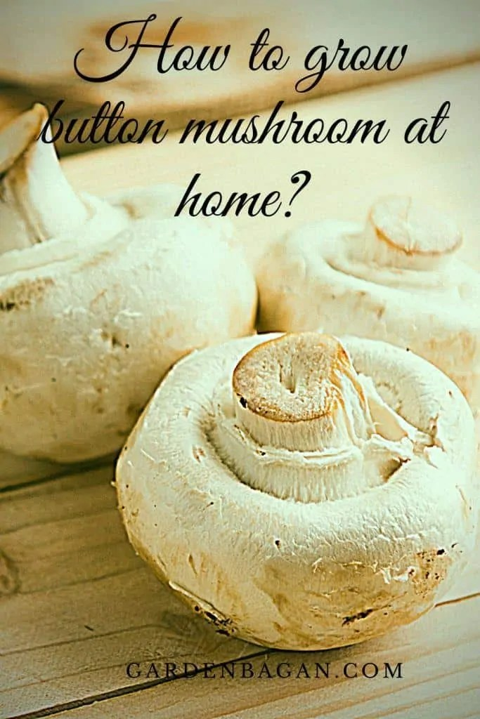 How to grow button mushroom at home