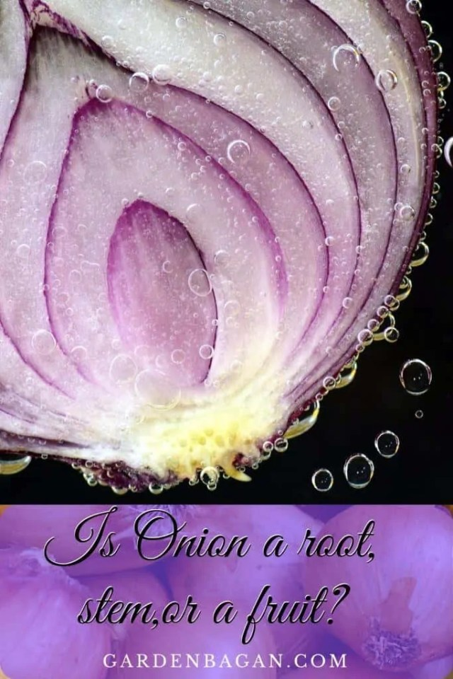 Is Onion a root, stem,or a fruit