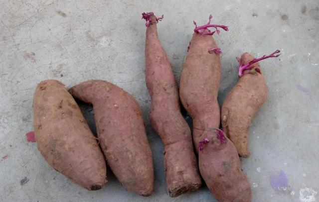 how-to-grow-Sweet-potato-sprouts-slips