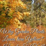 Why Garden Plants Leaves turn Yellow