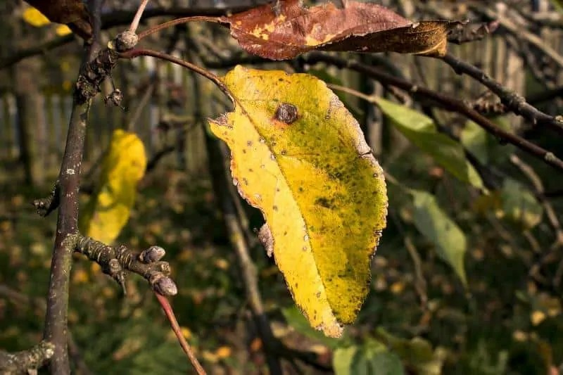 yellowing-leaves-due-to-pests-attack