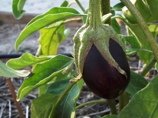 Purple Eggplant fruit