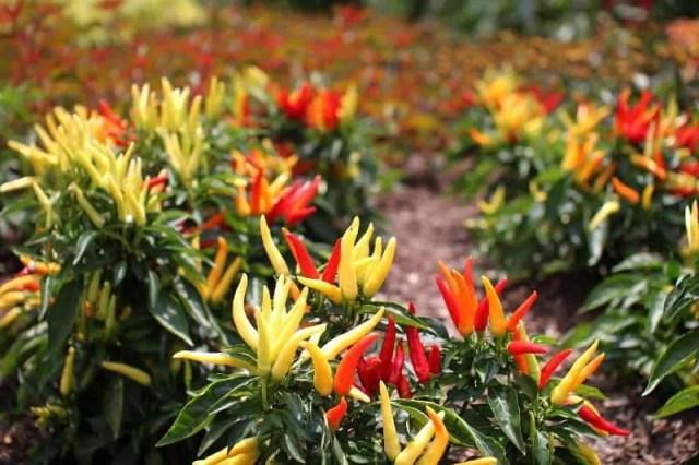 beautiful-ornamental-peppers