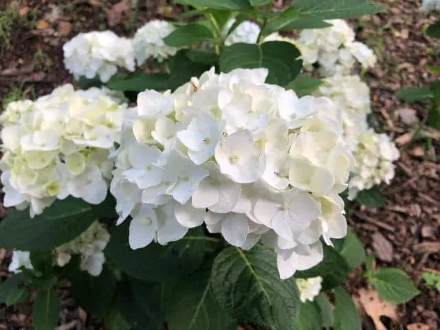 Hydrangea summer flowers