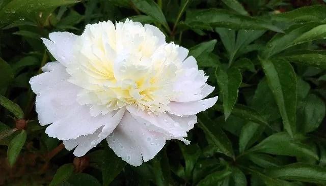 Peony white summer flowers