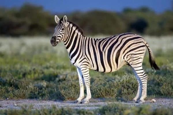 zebra-Animals that eat Grass