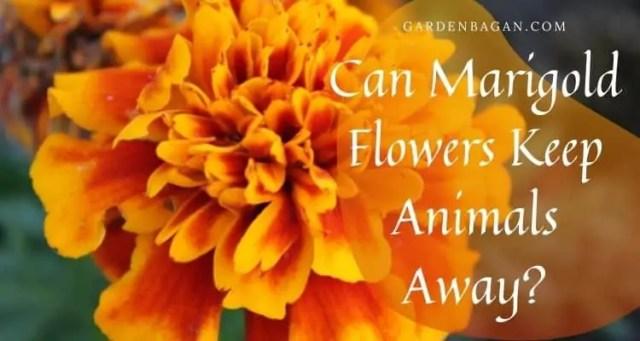 Can Marigold Flowers Keep Animals Away