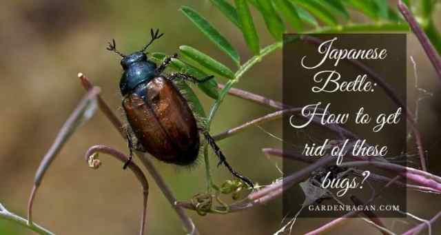 Japanese Beetle How to get rid of these bugs
