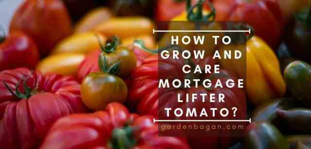 How to Grow and Care Mortgage Lifter Tomato