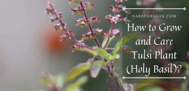 How to Grow and Care Tulsi Plant (Holy Basil)