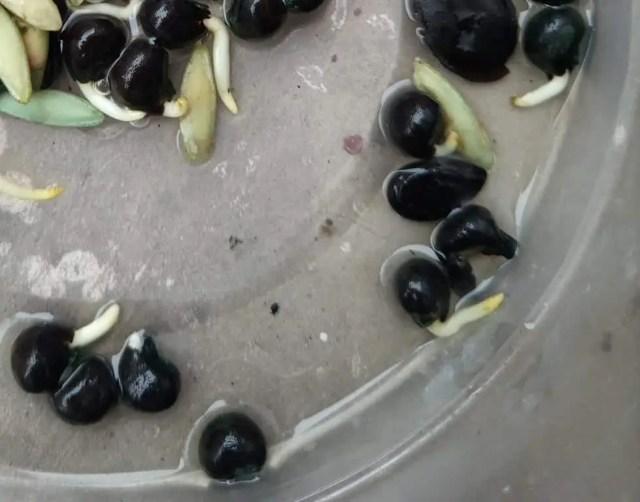 germinated-okra-seeds