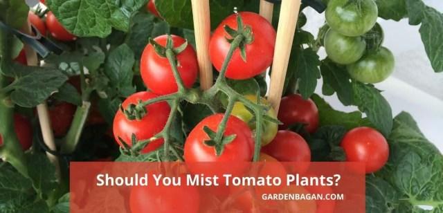 Should You Mist Tomato Plants