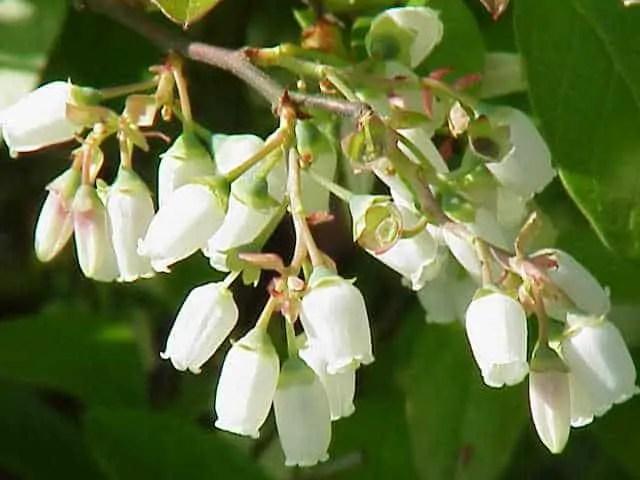 Vaccinium_corymbosum-blueberry flower