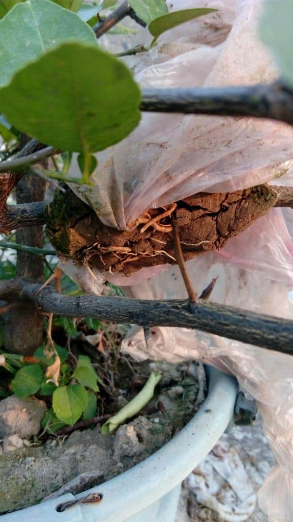 Visible roots in air-layering lemon branch