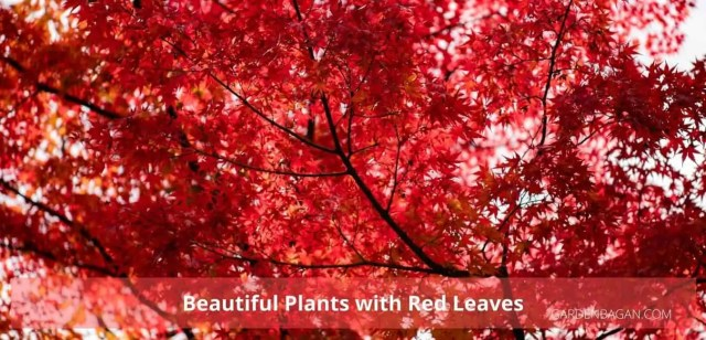 Beautiful Plants with Red Leaves