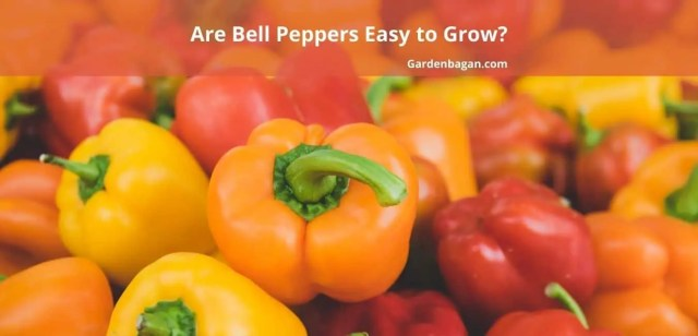 Are Bell Peppers Easy to Grow