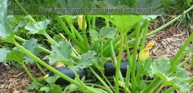 How much sun do zucchini plants need