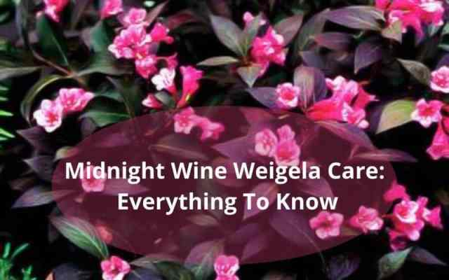 Midnight Wine Weigela Care Everything To Know