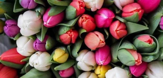 My Tulips Turning Yellow