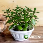 Complete Guide To Jade Plants How To Plant Care For Money Plants
